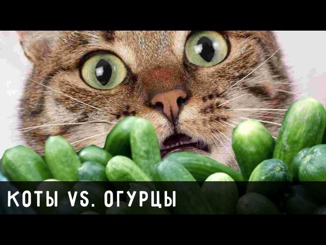 Коты и большие Огурцы. Приколы с котами 23