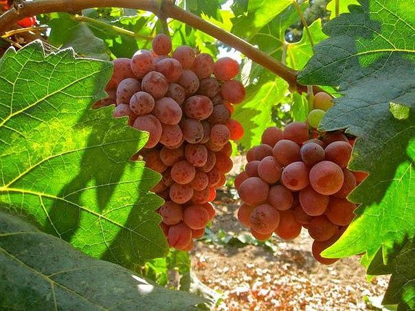 Если лоза хорошая, а винограда мало