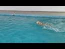Золотистые ретриверы в бассейне NEVA