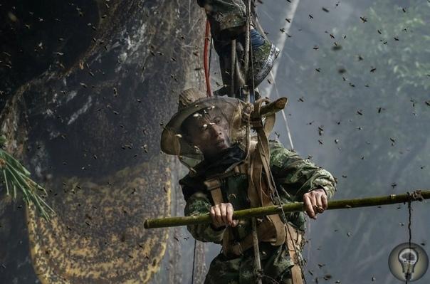 СЛАДКАЯ НАГРАДА: КАК ДОБЫВАЮТ ДИКИЙ МЕД В КИТАЕ. Ч.-2 1. Помощник смотрит вверх в ожидании падения сот 2. Сбор сот из ульев, которые были сняты со склона холма. Охотники никогда не берут мед из
