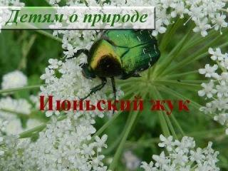 Интересное о насекомых. Июньский жук