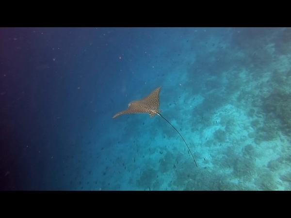 Spotted Eagle Ray (Aetobatus narinari) Maldives, Baa Atoll