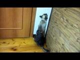 шиншилла против сиамского кота