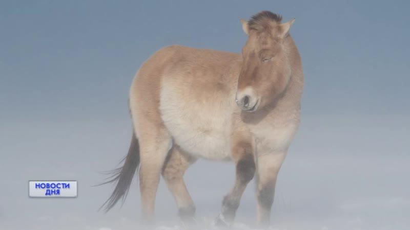 Оренбургские лошади Пржевальского в National Geographic Россия