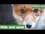 Sneaky fox cub hides behind kitchen cupboard