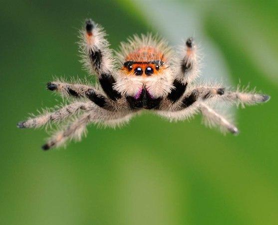Удивительные пауки - паук скакун