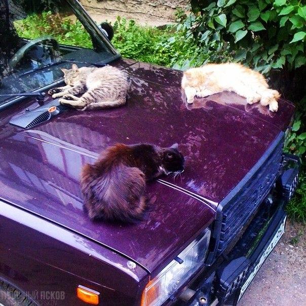 Типичные [club75931526|псковские] коты. #псков