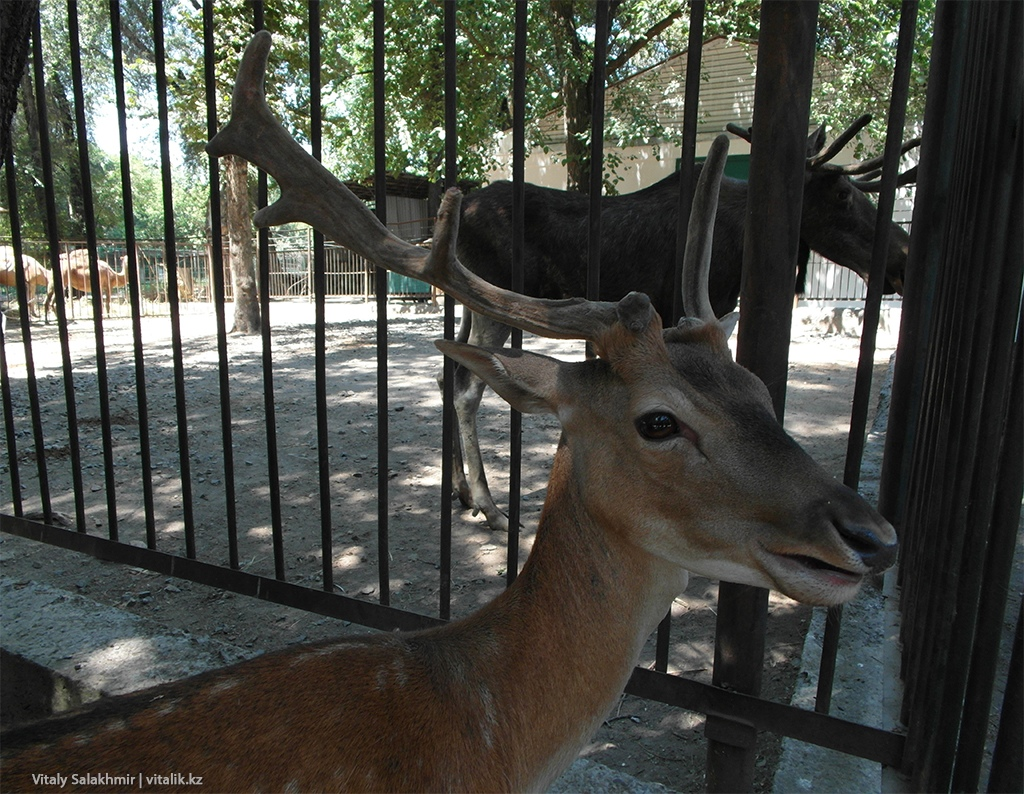 Европейская лань, зоопарк Алматы