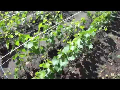 Состояние виноградной школки и уход за саженцами