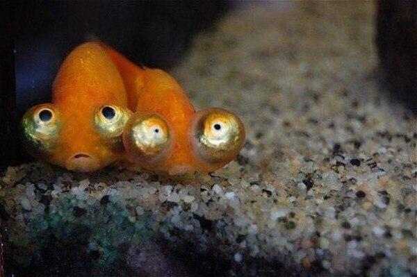 Картинка золотая рыбка прикол, дорога школу шикарная