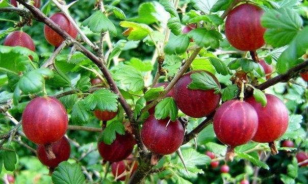 ВЫРАЩИВАНИЕ КРЫЖОВНИКА Крыжовник отличается высокой урожайностью. При благоприятных условиях и правильном уходе с одного куста можно собирать по 1015 кг ягод.Каждый год из появившихся