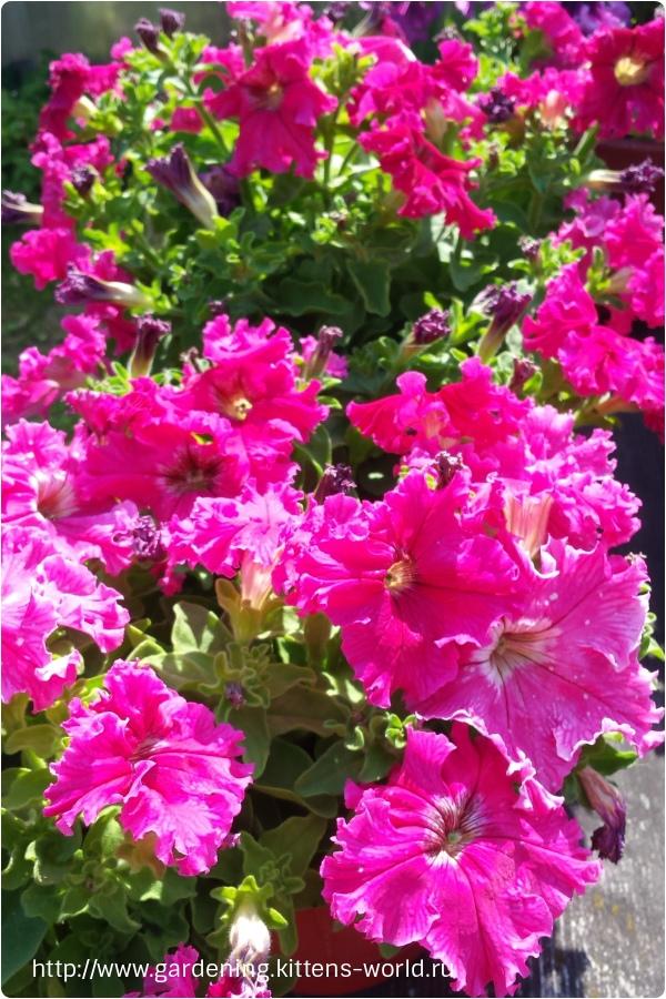 Обрезка петунии летом продлевает её обильное цветение