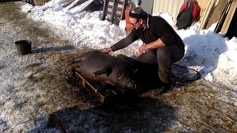 Лошадь. Бункерная кормушка. Разделка вьетнамской свиньи (часть1)