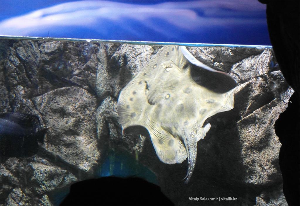 Скат в аквариуме алматинского зоопарка, 2018