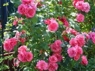 Правильный уход за розами (видео советы) [zhezelru]