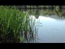 Замечательные звуки природы возле пруда Лягушки в сочетании с птицами