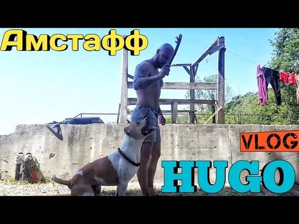 Vlog из Сочи!Амстафф Hugo дрессировка в игровой форме!американский стаффордширский терьер
