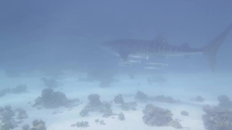 Китовая акула в Хургаде . Октябрь 2018.