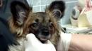 Протезирование глаза у собаки породы чихуахуа с гемофтальмом