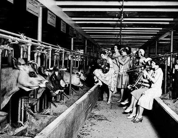 На фото музыкальный эксперимент над коровами