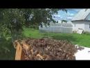 Снятие роя пчёл с яблони