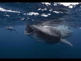 Самая большая акула в мире. Вот это чудовище / Гигантская китовая акула может проглотить человека