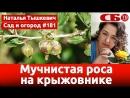 Мучнистая роса на крыжовнике – как побороть болезнь растения