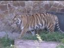 Переполох в тигрином семействе