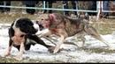 Страшная битва алабаев. Алабаи придушил до визга. Бои собак