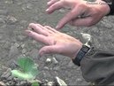 Добывание берёзового дёгтя для использования в качестве репелента