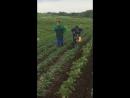 Окучиваем картошечку