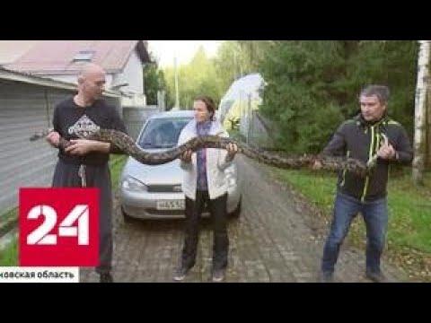 Бесхозный четырехметровый питон найден в одном из московских хостелов - Россия 24