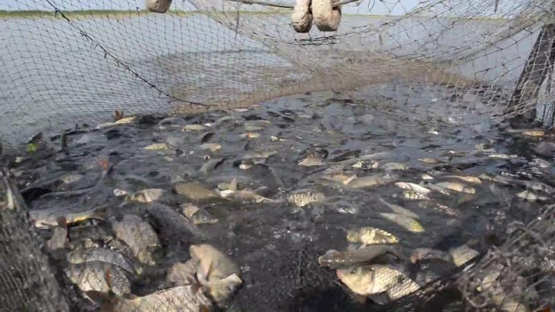 Вытянули невод на 6 тонн карпа Облов пруда часть 2 Карагандинский рыбопитомник