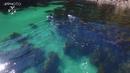 Aerial footage of Orca hunting stingray around Great Mercury Island New Zealand