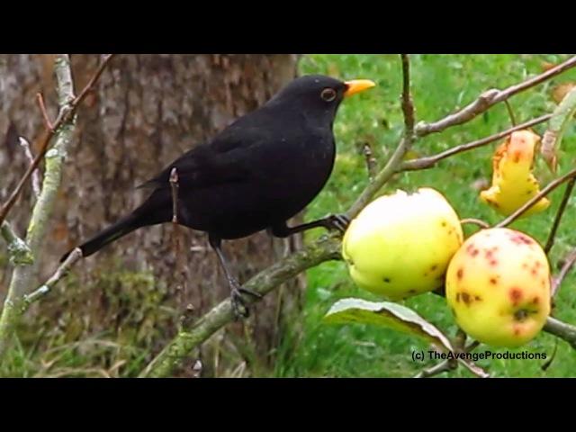 Natur Film - Herbst 2012 - Amsel - HD