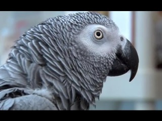 Einstein vs Griffin - The World's Smartest Parrots - Extraordinary Animals - Earth