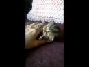 Шотландские котята 7