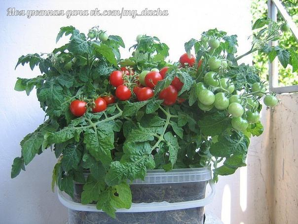 Мини-огород на подоконнике  затея хорошая. В таком мини - огородике можно запросто вырастить зеленый лучок, пряные травы, салат, перчики, и любимые помидоры.