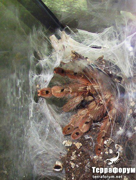Stromatopelma calceatum