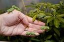 Этих крошечных зеленых существ называют скрытыми хамелеонами.