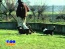 Породы собак Вельш-Корги Пемброк и Вельш-Корги Кардиган