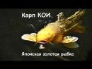 Тайны востока. Японская золотая рыбка плывёт к вам семинар в Мультизу