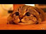 Самый милый котенок)) Шотландский вислоухий котенок. Супер няшный))