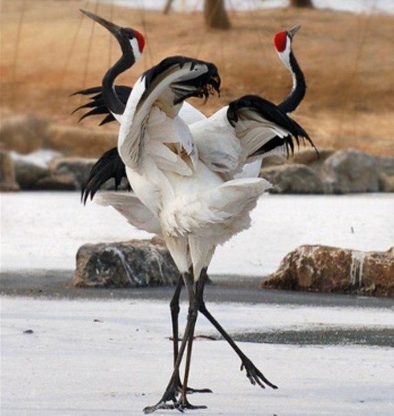 Журавлиный танец любви