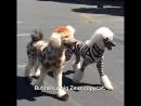 Собаки похожие на диких животных груминг
