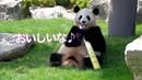 【姉パンダ・桜浜】一本の竹の子を食べ終わるまで! PANDA in Adventure World,Wakayama,Japan!