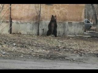 Медведь гуляет по Челябинску