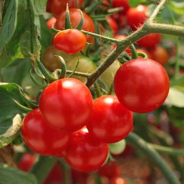 • Четыре рецепта подкормки помидоров на весь сезон •