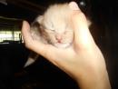 Двух-недельный дачный котенок Дымок