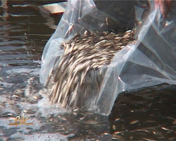 В озеро Селигер выпустили 8 000 мальков сазана